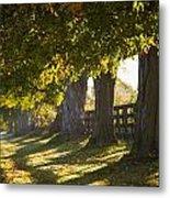 Line Of Maple Trees Along Rural Road In Metal Print