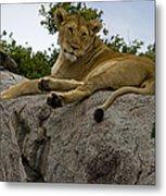 Lion   #1646 Metal Print