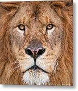 Lion Close Up Metal Print