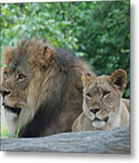 Lion Couple Metal Print