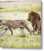 Lion Couple Metal Print