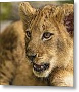 Lion Cub Close Up Metal Print