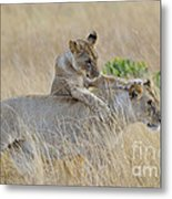 Lion Cub Playing With Female Lion Metal Print