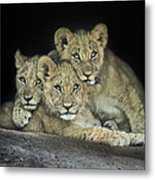 Three Lion Cubs Metal Print