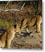 Lion Cubs Of Zimbabwe  Metal Print