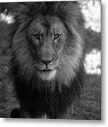 Lion Going For A Haircut Metal Print