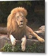 Lion Hanging Out Two Metal Print