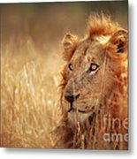 Lion In Grass Metal Print
