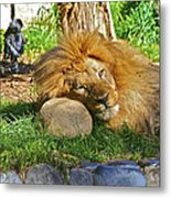 Lion In Repose Metal Print