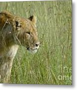 lion Masai Mara Kenya Metal Print