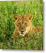Lion, Ngorongoro Conservation Area Metal Print