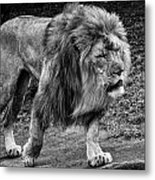 Lion On The Prowl Metal Print