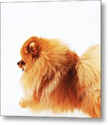 Lion On The Snow Metal Print