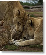 Lion Smooch Metal Print