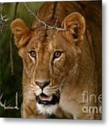 Lioness Metal Print by Alison Kennedy-Benson