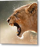 Lioness Displaying Dangerous Teeth In A Rainstorm Metal Print