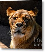 Lioness Hey Are You Looking At Me Metal Print