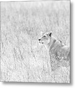 Lioness In Black And White Metal Print
