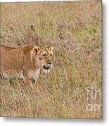 Lioness, Kenya Metal Print
