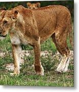 Lioness On The Masai Mara Metal Print