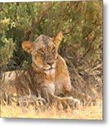Lioness  Panthera Leo Resting Metal Print