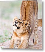 Lioness Panthera Leo Stretching Metal Print