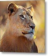 Lioness Portrait Lying In Grass Metal Print