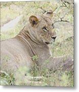 Lioness Relaxing Metal Print
