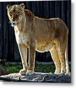 Lioness Metal Print by Frozen in Time Fine Art Photography