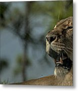 Lioness Voicing Opinion Metal Print