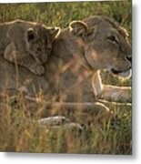 Lioness With Cub Metal Print