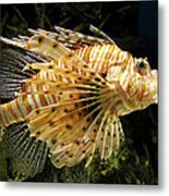 Lionfish Searching For Its Prey Metal Print
