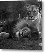 Lions Me And My Guy Metal Print