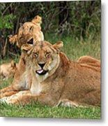 Lions Of The Masai Mara  Metal Print