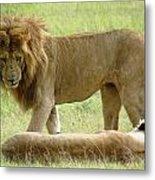 Lions On The Masai Mara Metal Print
