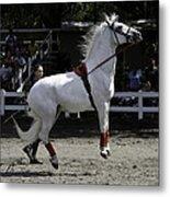Lipizzaner Stallion Jumping Metal Print