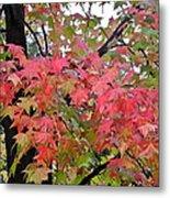 Liquidambar Tree in the Fall Metal Print