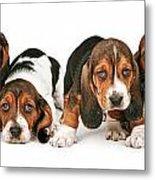 Litter Of Basset Hound Puppies Metal Print