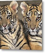 Little Angels Bengal Tigers Endangered Wildlife Rescue Metal Print