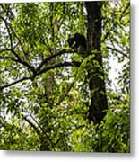 Little Bear Cub In Tree Cades Cove 2 Metal Print