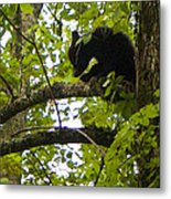 Little Bear Cub In Tree Cades Cove Metal Print