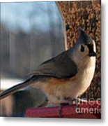 Little Gray Crested Titmouse Bird Ready For Lunch Metal Print