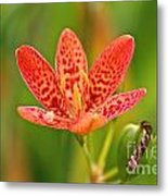 Little Blackberry Lilly Metal Print