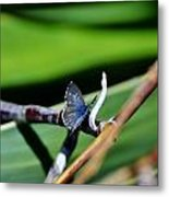 Little Blue Butterfly Metal Print