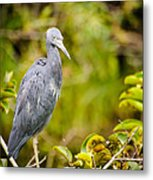 Little Blue Heron Metal Print