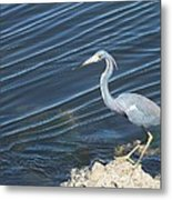 Little Blue Heron II Metal Print by Anna Villarreal Garbis
