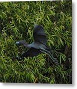 Little Blue Heron In Flight Metal Print