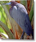 Little Blue Heron Male In Breeding Metal Print