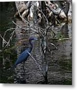Little Blue Heron Metal Print by Skip Willits