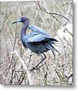 Little Blue In Rookery Louisiana Metal Print